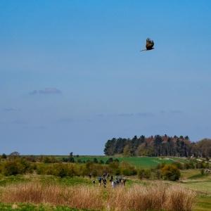 A red kite flies across The Ridgeway