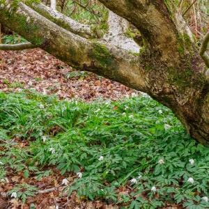 Besselsleigh Wood - wood anemone