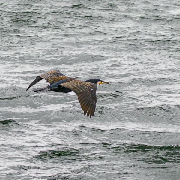 Cormorant (I think)