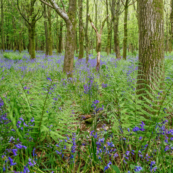 Late bluebells in shaded woodland